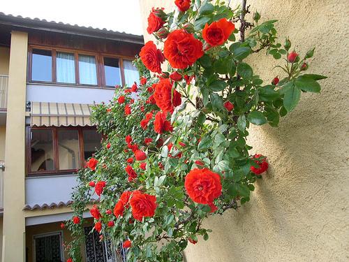 Alcune regole da seguire per piantare le rose rampicanti