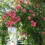 Rose rampicanti: innaffiatura, potatura e concimazione