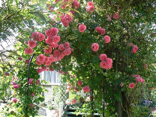 Rose rampicanti innaffiatura potatura e concimazione for Prezzi piante da giardino