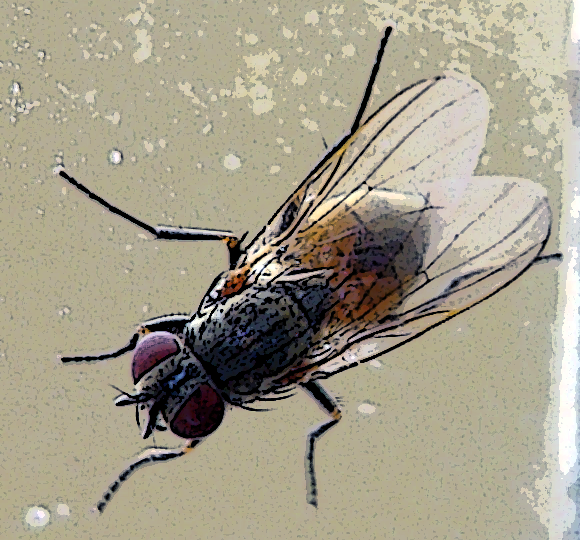 La mosca Carlotta Mosca-fannia-canicularis