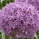 Allium e anemone, ecco i bulbi più belli