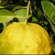 Come coltivare gli agrumi sul balcone anche d'inverno