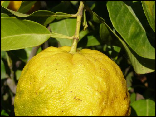 Come coltivare gli agrumi sul balcone anche d 39 inverno for Acquistare piante di agrumi
